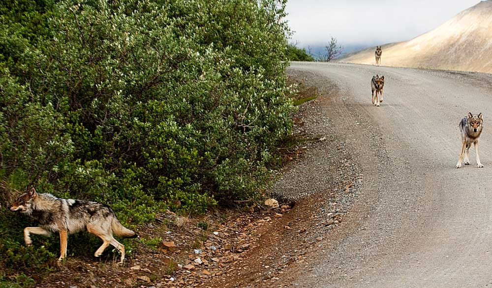 six wolves walking down a dirt road