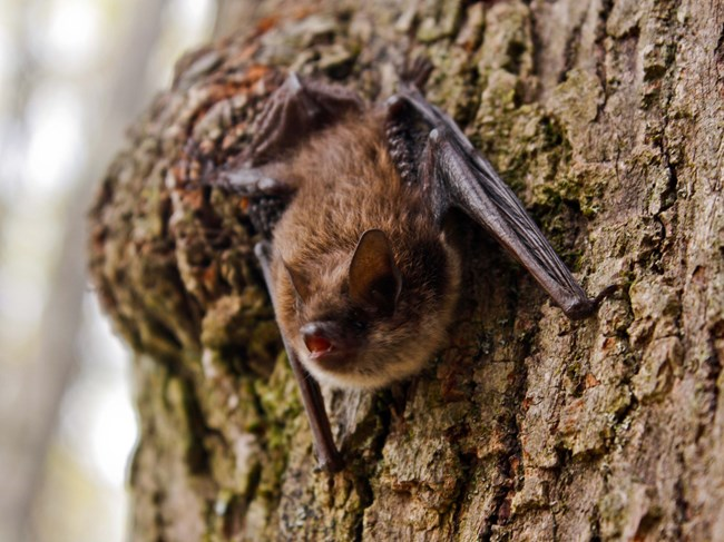 A little brown bat clinging to the side of a tree.