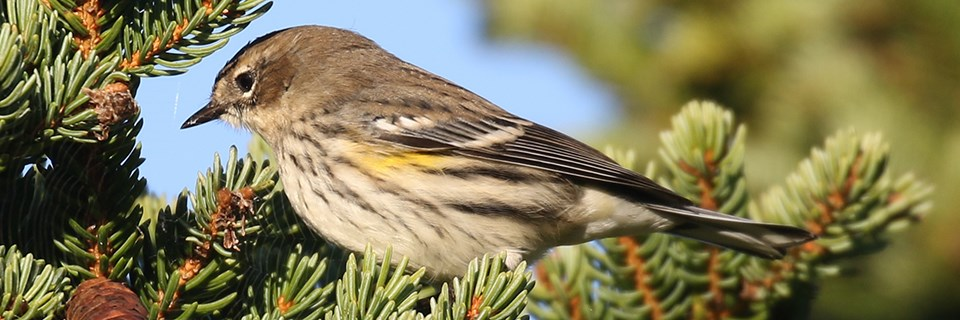A brown and yellow bird sits on pine tree branches