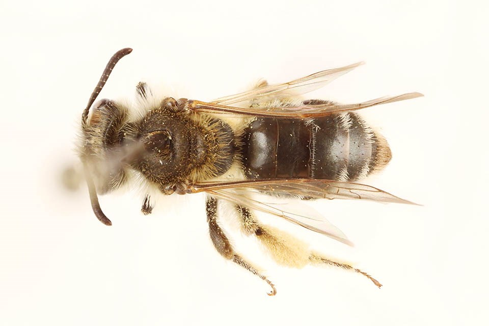 Dorsal view of pinned bee, Andrena w-scripta