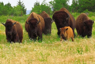Four adult and one baby bison tromping through tall grass