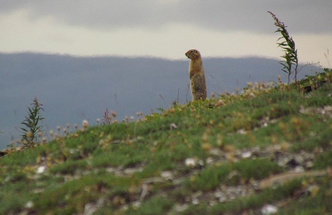 An Arctic ground squirrel on the tundra.