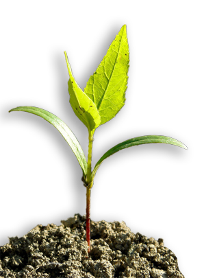 image of a white ash tree seedling