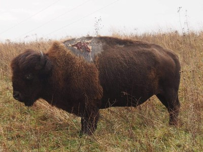 Bison with a scar on its shoulder from being struck by lightening