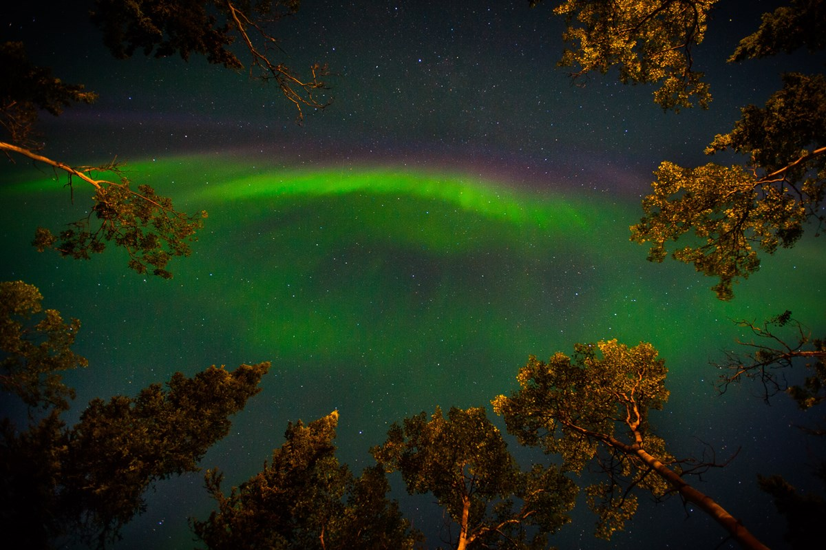 a band of green aurora tinged with a pink edge, arcing through a night sky over trees with golden leaves