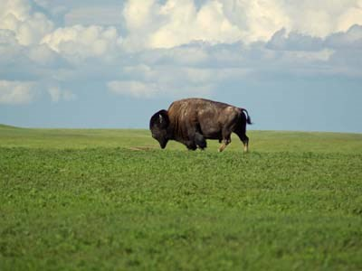 A bison roaming a grassy green field in Badlands National Park
