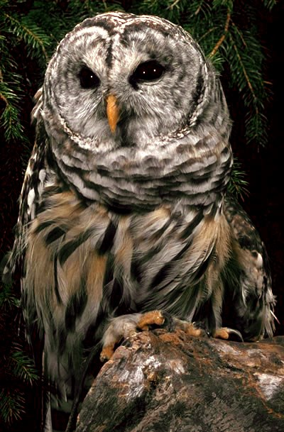 The Barred Owls in Marin County (U S  National Park Service)