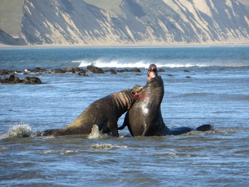 Bull elephant seals battling fiercely for access to females.