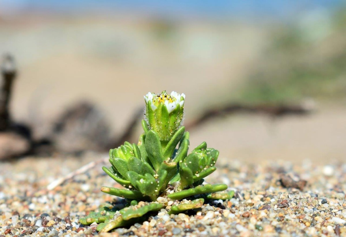 Small plant with tiny white and yellow flowers growing in the sand