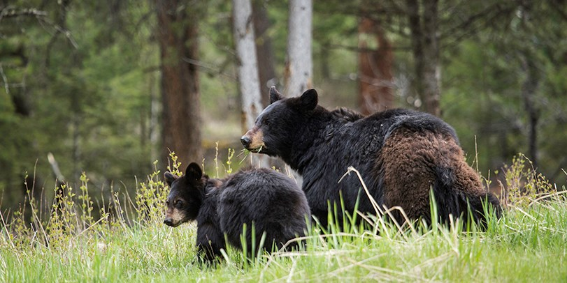 Mother black bear and cub