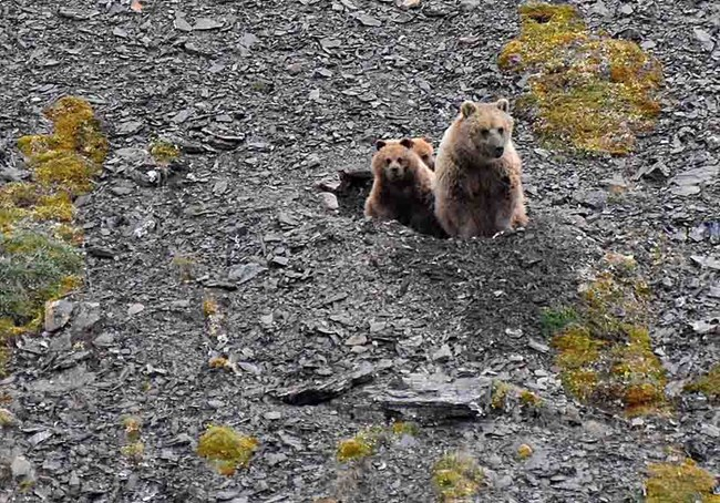 A sow brown bear and her cub emerge from a den in a rocky Arctic slope.