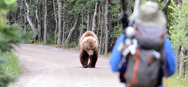 A hiker watches a bear from long distance as the bear walks down a dirt road surrounded by heavy vegetation.