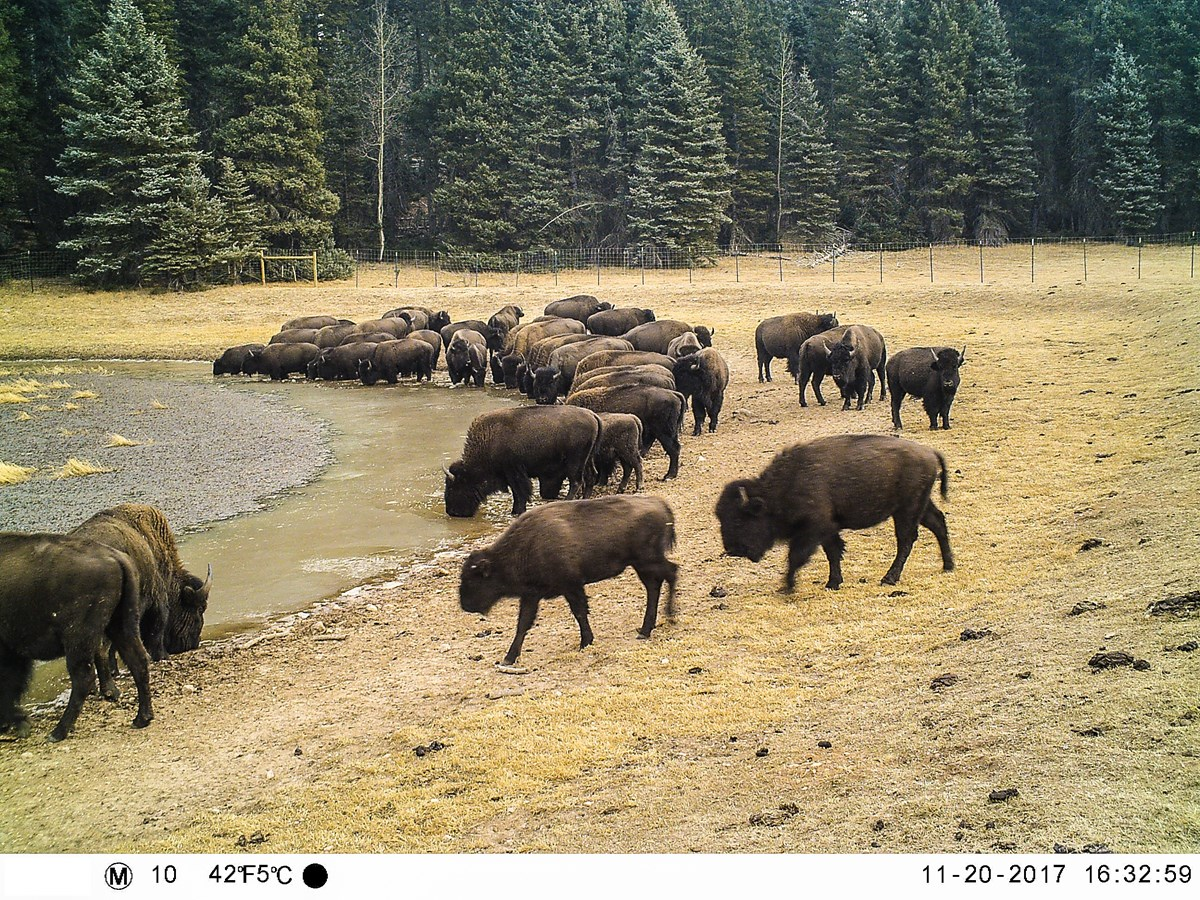 Grand Canyon Bison Herds Really Mucking Things Up
