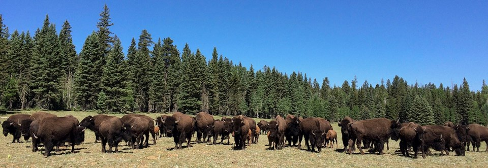 A herd of fifty bison in a meadow surrounded by a mixed conifer forest.