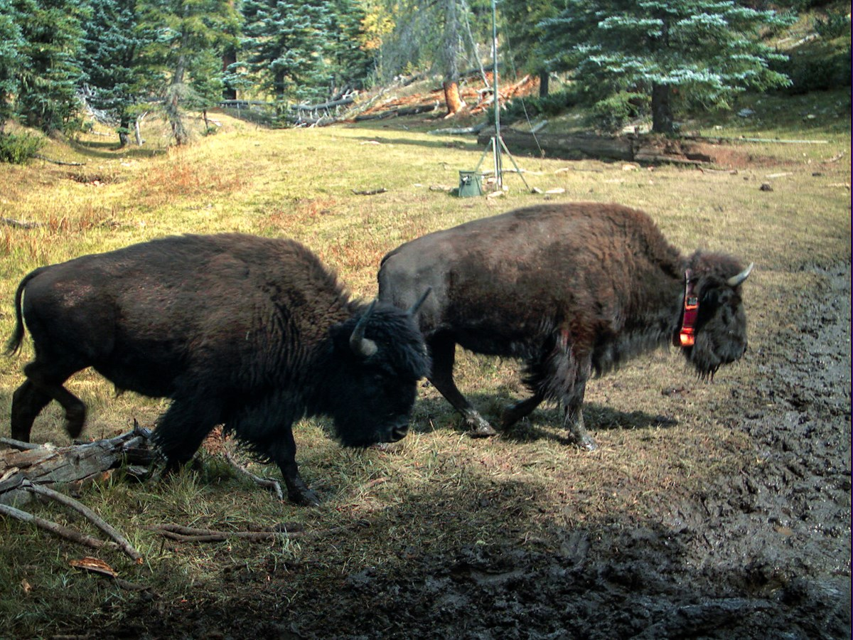 Two bison walking through a forest, near a spring. One of these animals wears a bright orange GPS collar.