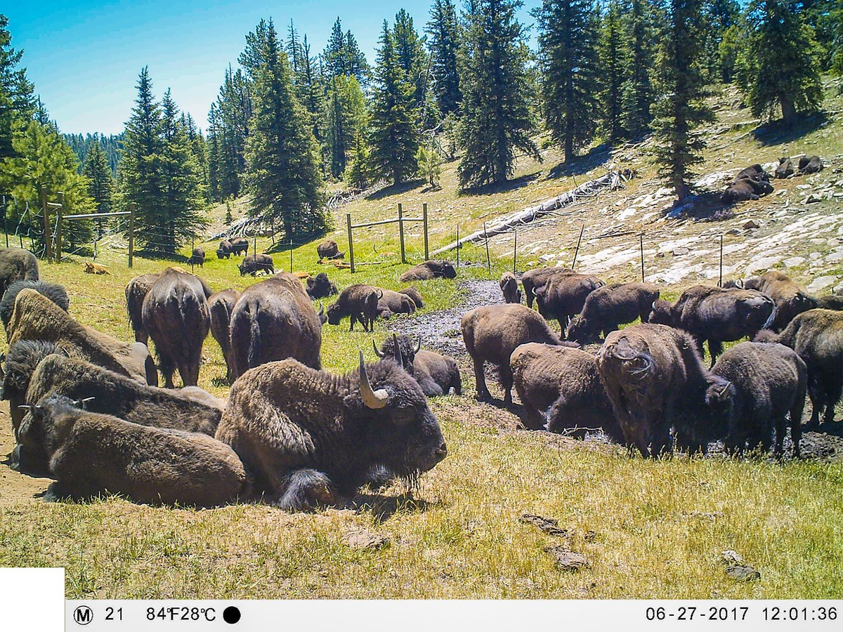 A herd of thirty bison lay in wallows and trample through spring that has been fenced.