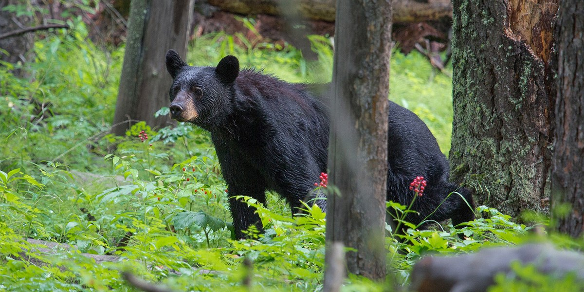 black bear in a forest