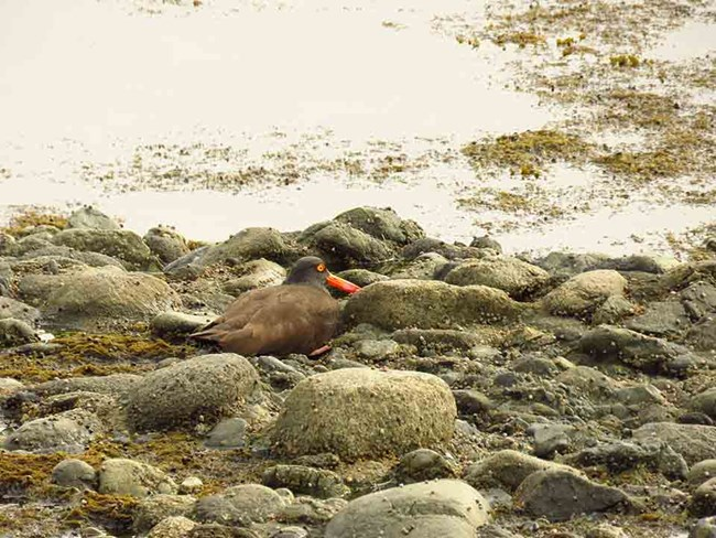 A black oystercatcher stands on the rocky shore.
