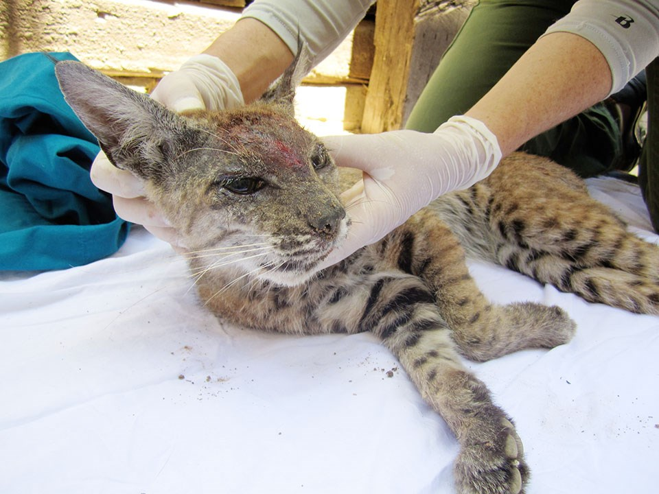 Biologist examining a bobcat with bloody, bare skin on its face