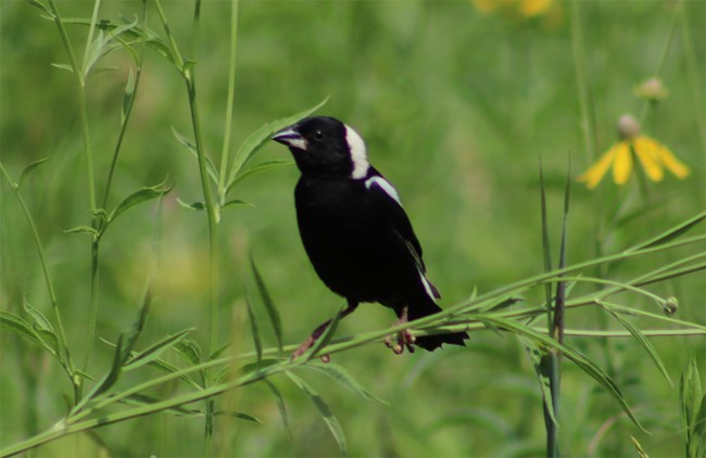 Bobolink perched in the prairie at Pipestone National Monument