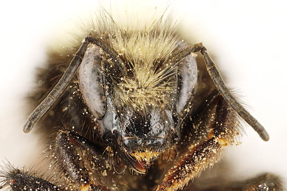 Head view of pinned bee, Bombus caliginosus