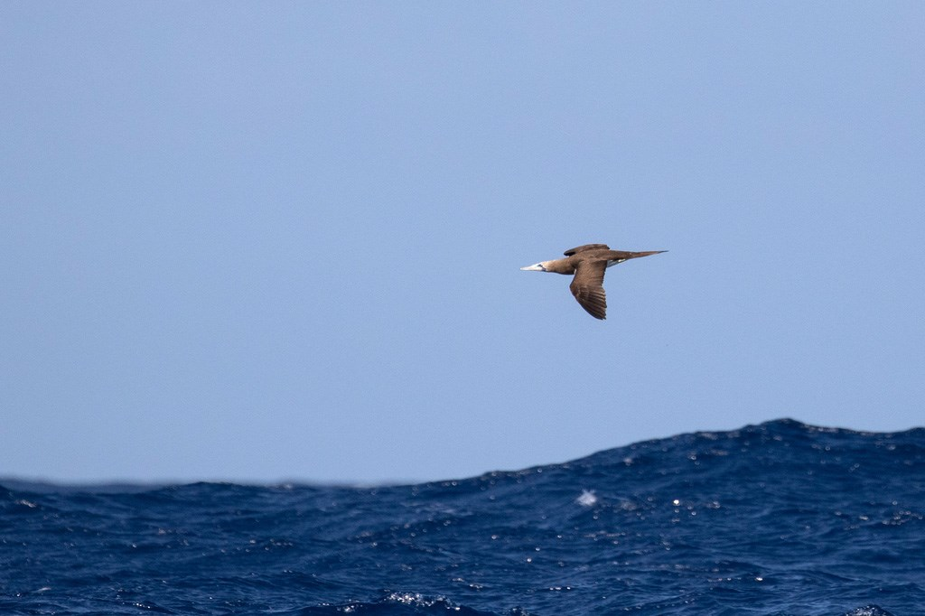 Brown booby flying just above the waves