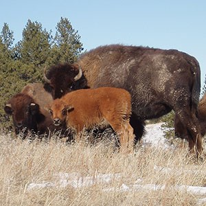A bison calf with two adults who are darker in color, all looking toward the person taking the photo