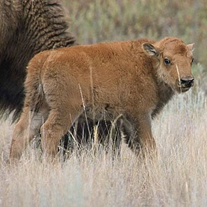 A bison calf standing near an adult bison, looking back over its shoulder