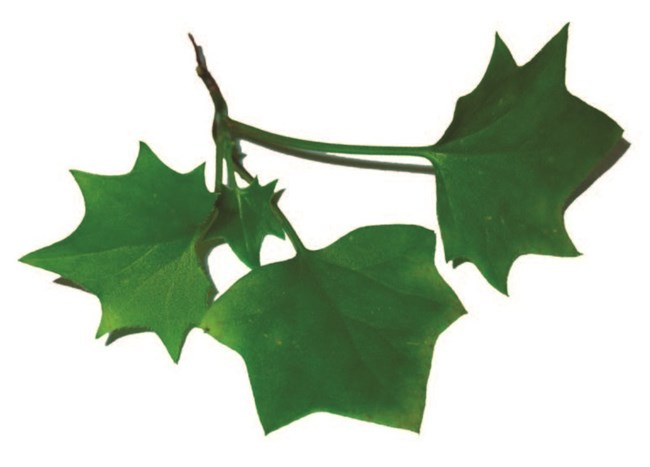 Cape ivy leaves shown against a white background