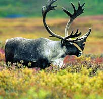 A lone caribou grazing in a colorful field of tundra in Alaska.