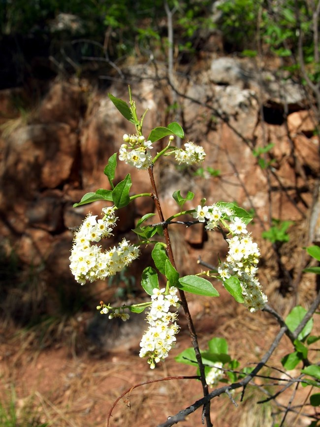 Chokecherry plant (Prunus virginiana)