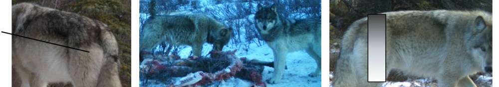 three photos; one shows the angle of dark hair on a wolf's back, the second shows two wolves at a carcass, and the last shows the gradient of dark to light fur on a wolf