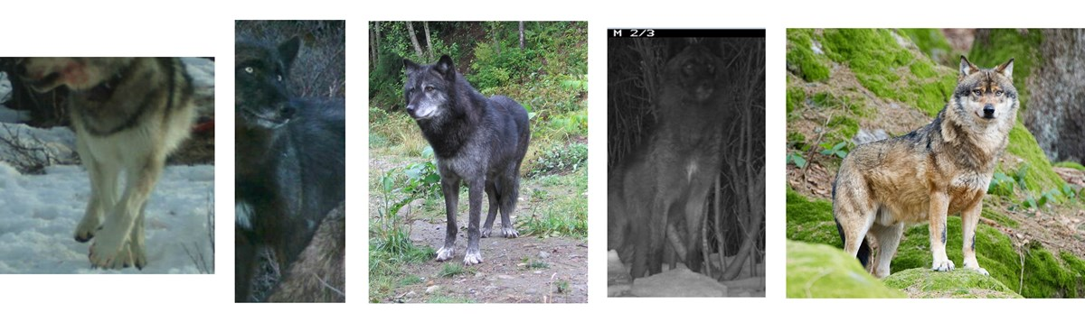 five photos depicting wolf chests