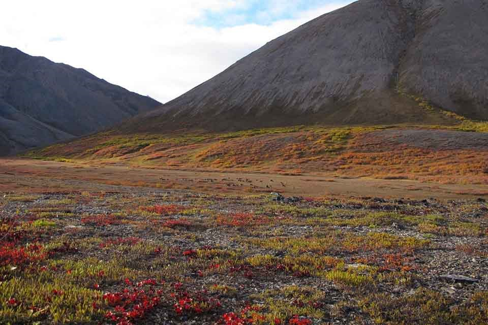 An Arctic valley with migrating caribou in the fall.