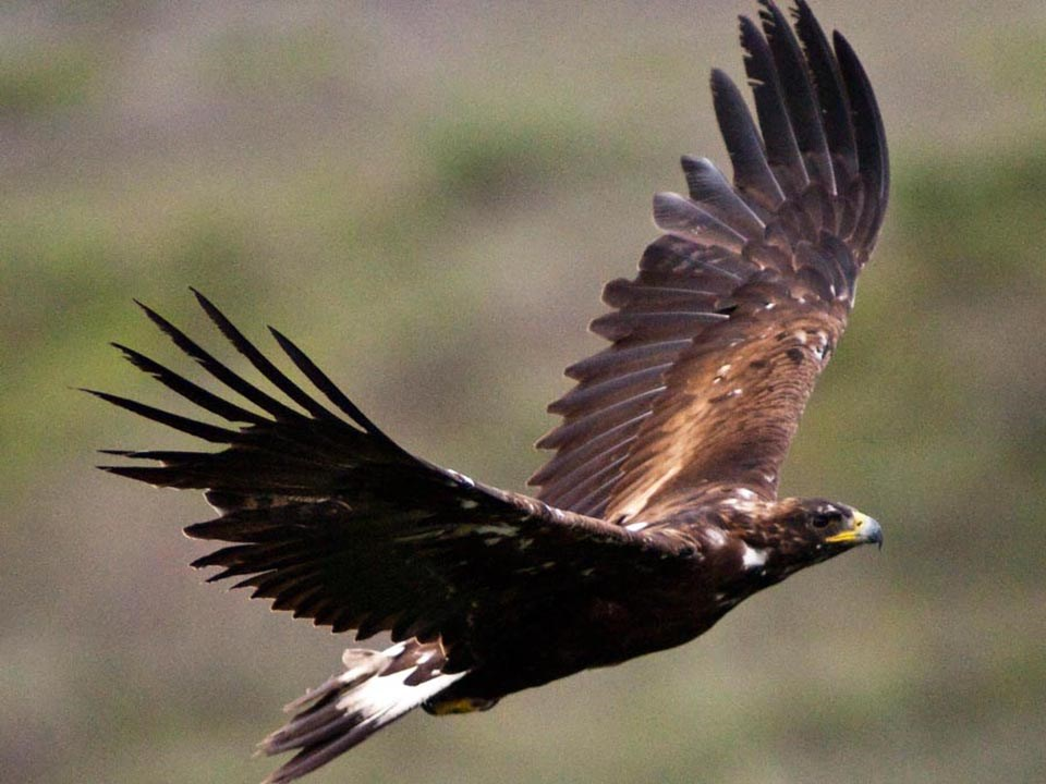 A Golden Eagle in flight.