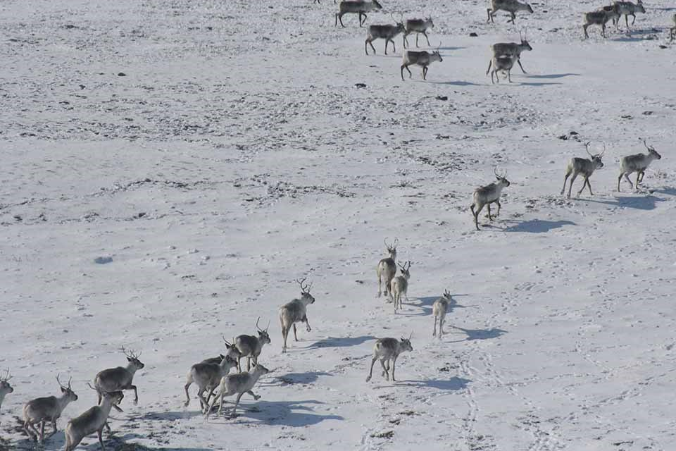 A herd of caribou travel across the snow-covered tundra.