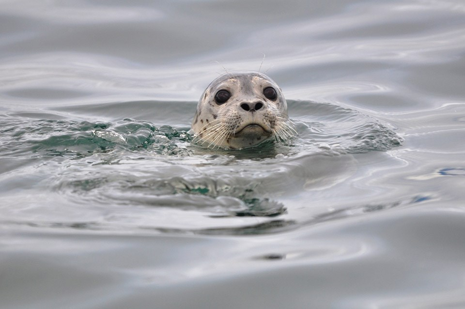 A close up of a harbor seal popping its head out of the water.