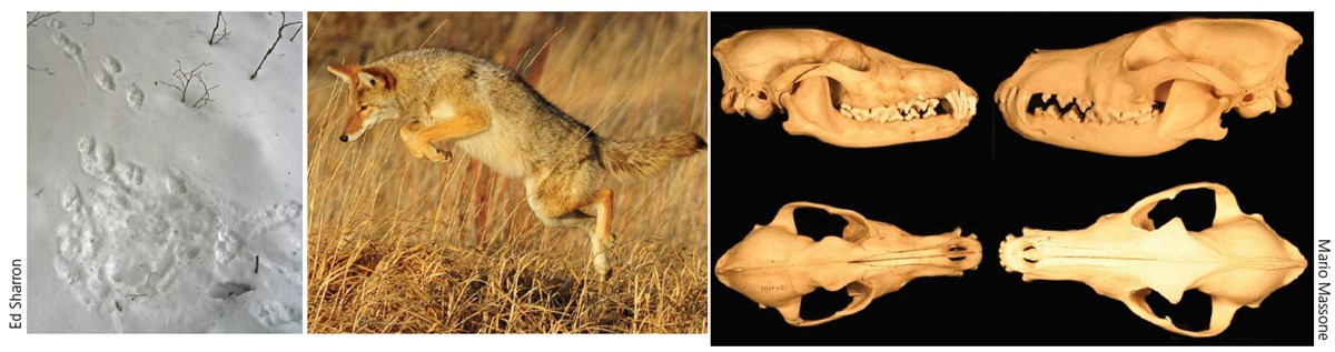 Left: depression in snow where a coyote once lay. Middle: A coyote leaps in the air in a field to pounce on a rodent. Right: Top and side views of coyote skulls.
