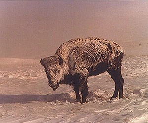 A black and white photo of a bison cow standing on a snowy landscape, also covered in snow
