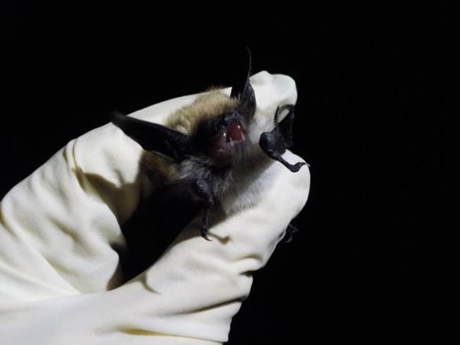 A small black bat gently held in a gloved hand