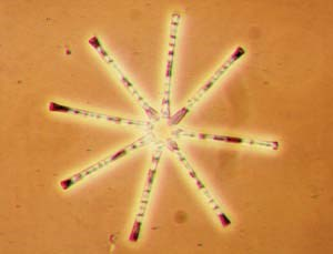 Diatoms such as this Asterionella have distinctive shapes that make them easy to identify.