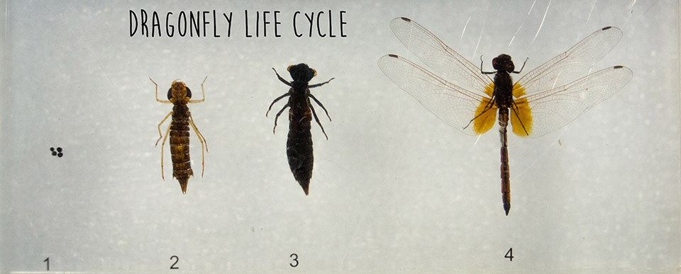 larval and adult stages of dragonflies encased in plastic with the words dragonfly life cycles atop photo
