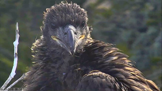A young bald eagle looking towards the webcam in the early morning