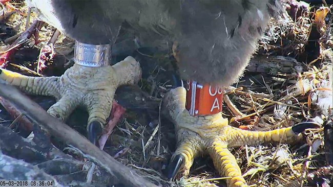 Webcam screenshot of an eaglet's feet and legs showing a shiny new metal band on each leg