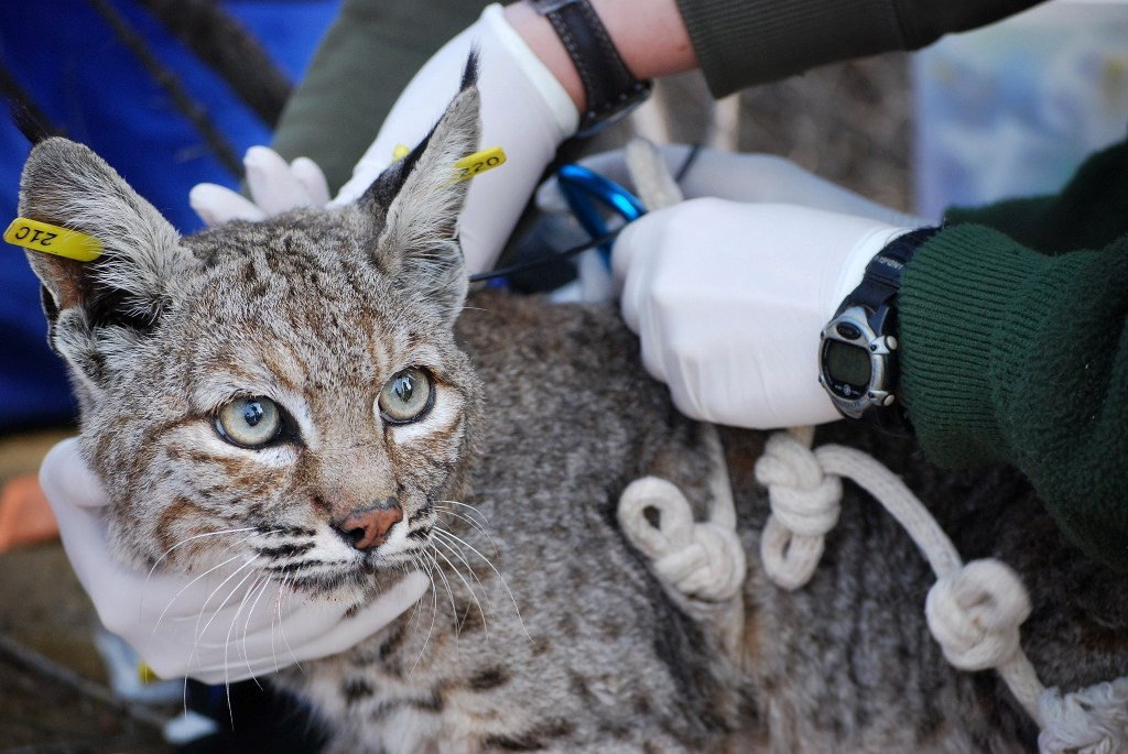 An ear-tagged bobcat as biologists prepare to weigh it
