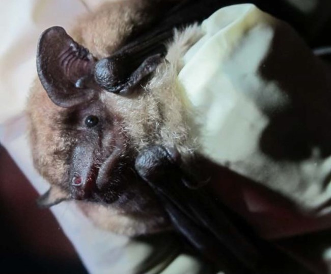 A bat with very large ears being held gently in a gloved hand