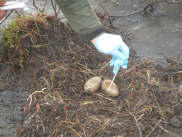 a person in latex gloves swabs eggs in a ground nest