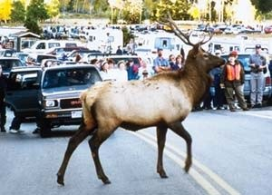 Elk crosses the road and a crowd of people are stopped to watch.