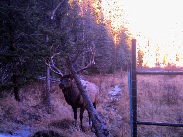 Male elk stands outside of exclosure fencing.