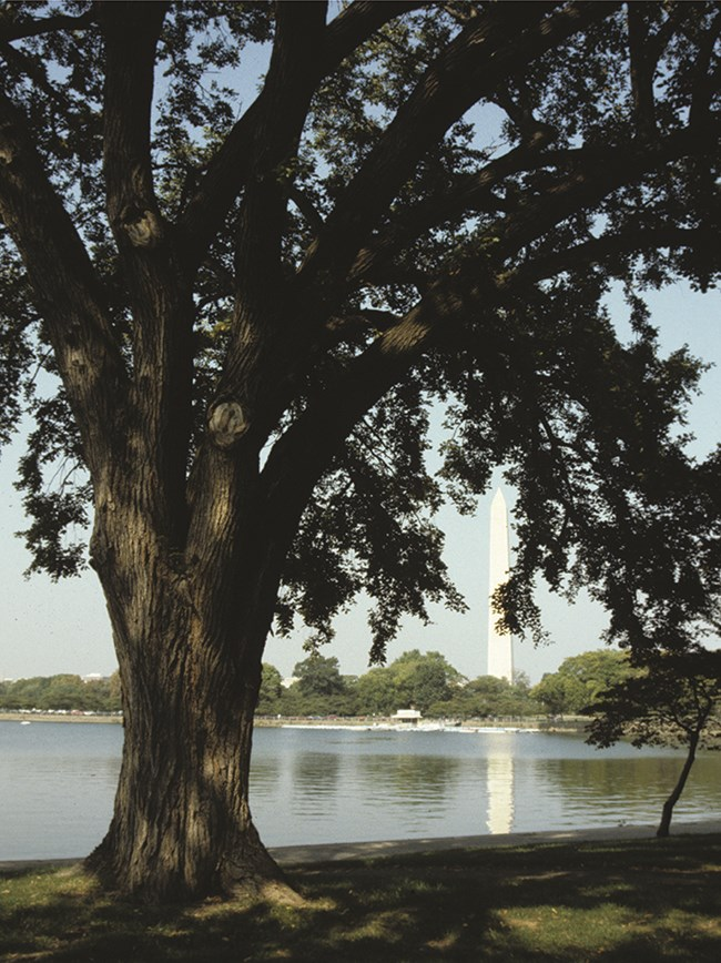 A large American elm tree with the Washington Monument in the background.